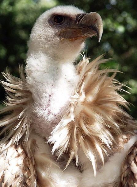 Vulture Predator Bird Fowl Griffon Vulture Raptor
