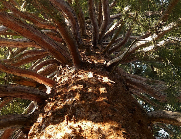 Sequoia People Bark Bay Tribe Gnarled Large Big Co