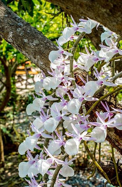 Wild Orchid White Violet Orchid Flower Floret