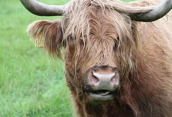 Beef Complaint Animal Physical Scottish Hochlandri