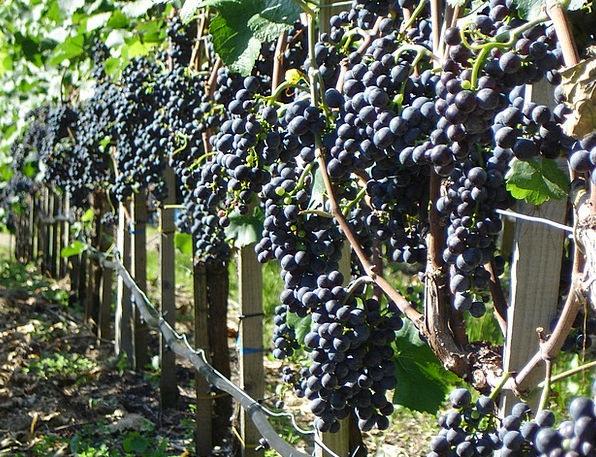Grapes Landscapes Vegetable Nature Wine Mauve Plan