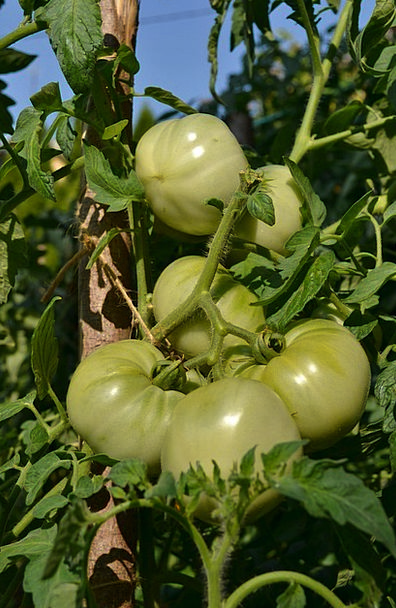 Green Tomatoes Drink Food Vegetables Potatoes Toma
