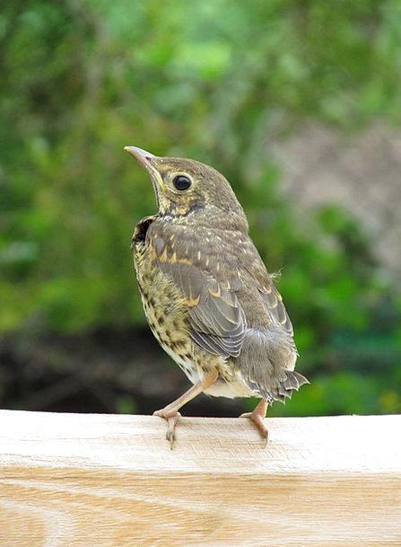 Bird Fowl Launchy Thrush Nature Countryside