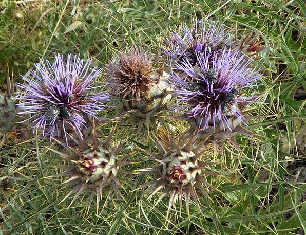 Thistle Wild Flower Wild Plants Flower Floret Inse