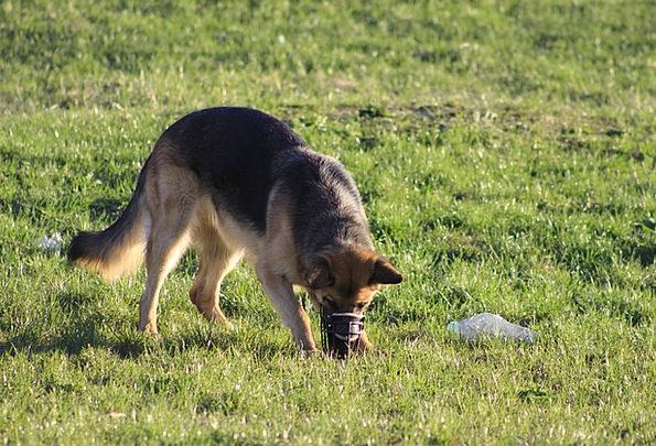Dog Canine Amusing Search Hunt Fun Sniffing Inhali