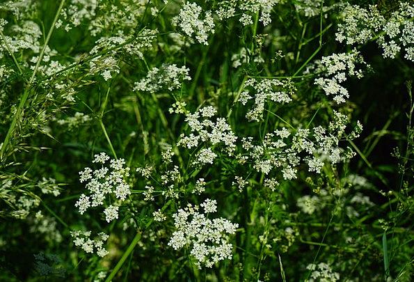 Pointed-Chervil Plants White Snowy Flowers Apiacea