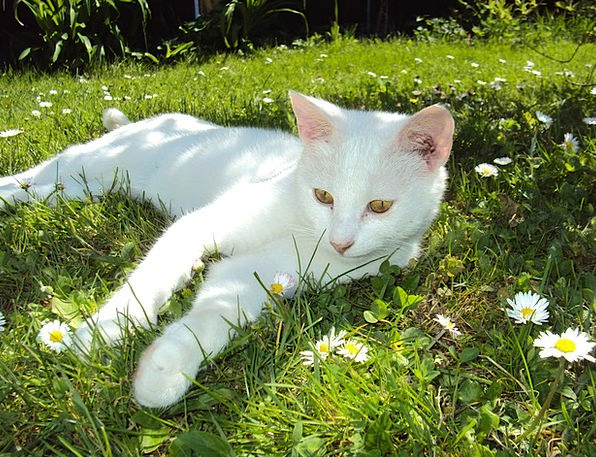 Hangover Aftermath Feline White Snowy Cat Pet Dome