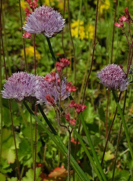 Summer Meadow Plants Purple Elaborate Flowers Spri