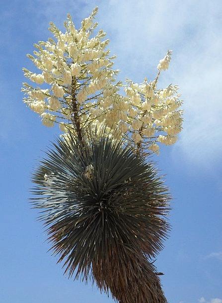 Yucca Landscapes Nature Bloom Yucca Palm Sky Flowe