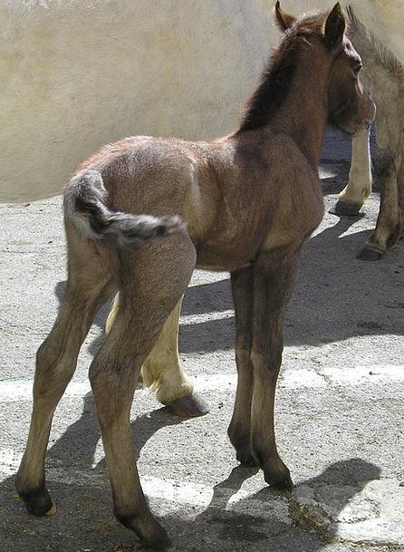 Foal Mount Camargue Horse Animals Faunae