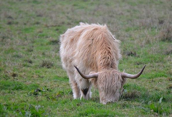 Highlands Moorlands Intimidate Beef Complaint Cow