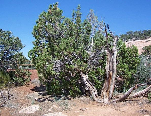 Cedar Tree Desert Reward Colorado National Monumen