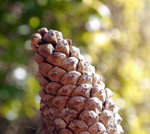 Pinecone Pine Long Cone Tree Sapling Brown Conifer