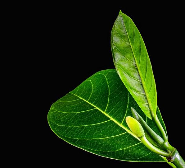 Jack Fruit Leaf Periodical Leaves Greeneries Journ