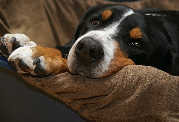 Schweizer Sennenhund Canine Mountain Dog Dog Paws