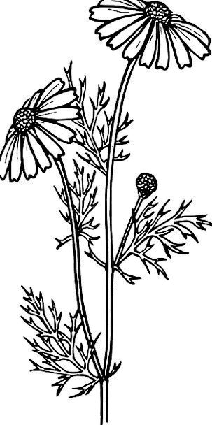 Daisy Chrysanthemum Aster Flowers Plants Botanical