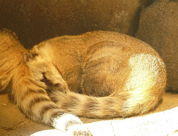 Coati Tolerate Animal Physical Bear Fur Hair Doze
