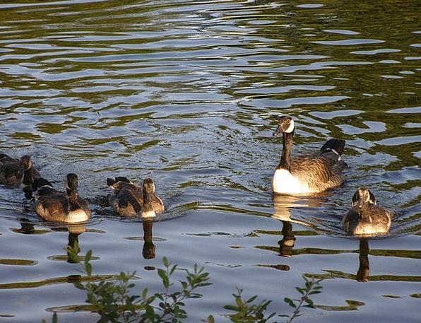 Ducks Dears Domestic Lake Freshwater Family Bird F