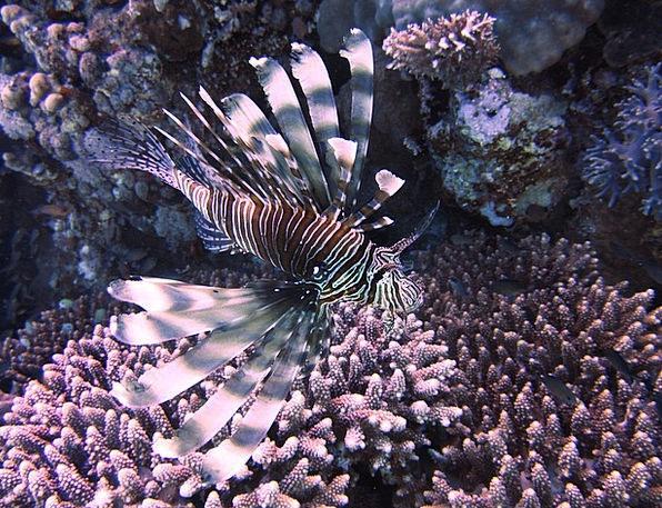 Rotfreuerfisch Vacation Marine Travel Underwater S