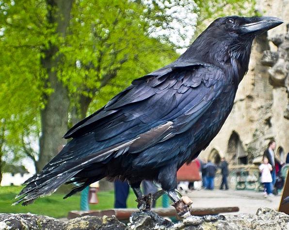 Raven Scoff Fowl Black Dark Bird Animal Physical M