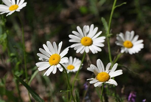 Daisy Plants Chamomile Flowers White Flowers June