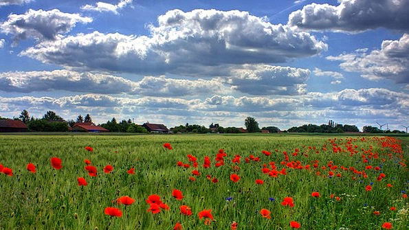 Field Of Poppies Landscapes Nature Nature Countrys