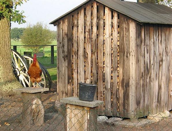 Farm Farmhouse Animal Physical Hahn Chicken Coward