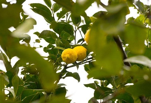 Lemon Dud Drink Food Fruit Ovary Lemon Tree Vitami