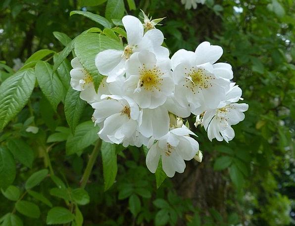 Cherry Blossom White Snowy Japanese Tree Sapling