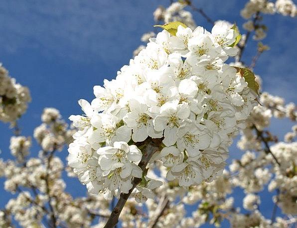 Cherry Branches Landscapes Floret Nature White Sno