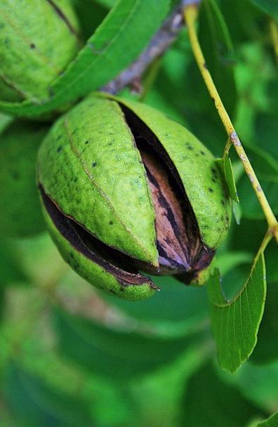 Nut Enthusiast Drink Ovary Food Pecan Fruit Hull B