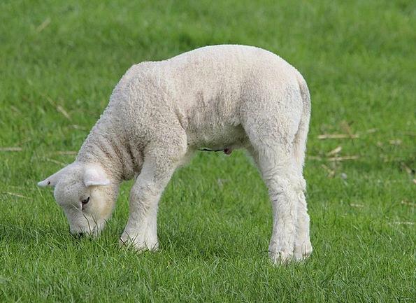Deichschaf Beef Lambs Beefs Lamb Animals Sheep Ewe