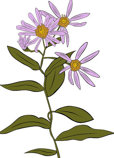Coneflower Aster Echinacea Daisy Purple Flowers Fr