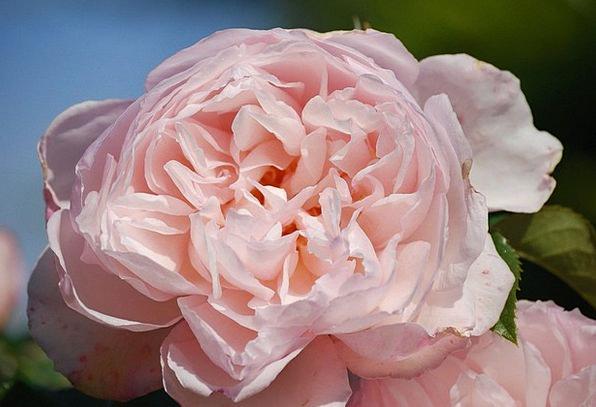 Rose Design Flushed Flower Floret Pink Beautiful L