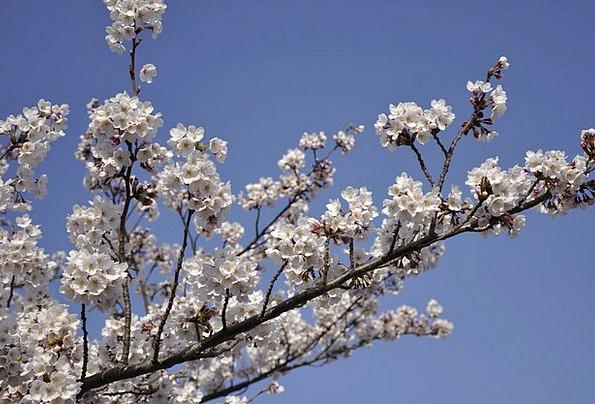 Cherry Tree Flowers Plants Japan Blossom Flower Ch