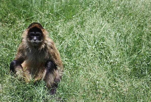 Monkey Ape Wild Rough Wildlife Animal Physical Nat