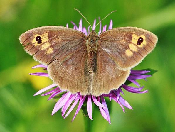 Meadow Brown Butterflies Nerves Butterfly Fauna In
