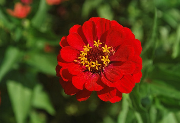 Flower Floret Red Bloodshot Zinnia Flowering Petal