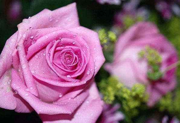 Roses Designs Landscapes Floret Nature Pink Flushe