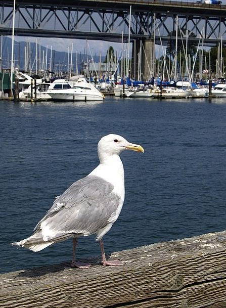 Seagull Fowl Wandering Itinerant Bird Canada False
