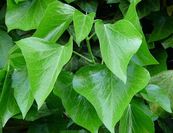 Ivy Leaves Leaves Greeneries Ivy Toxic Green Lime
