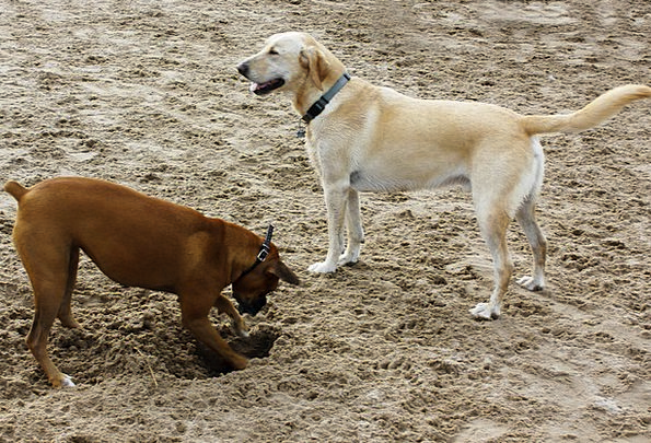 Dogs Canines Shingle Dog Canine Sand Yellow Dog Br