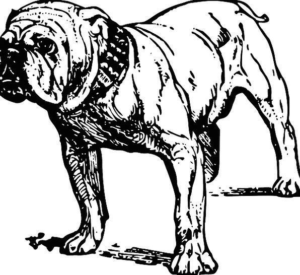 Bulldog Animal Physical Dog Breed Pet Domesticated