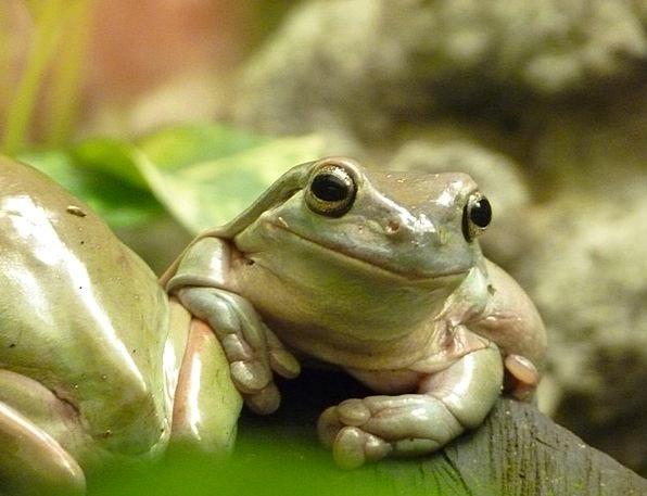 Finger Coral Tree Frog Anuran Frog Amphibian