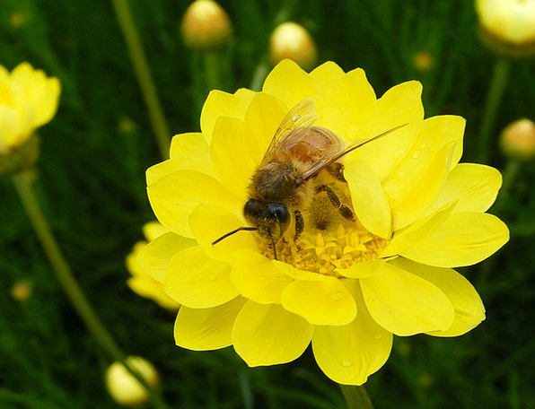 Honeybee Daisy Paper Daisy Spring Bee Honey Yellow