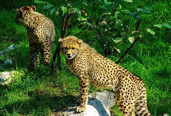 Cheetah Feline Tiergarten Cat Acinonyx