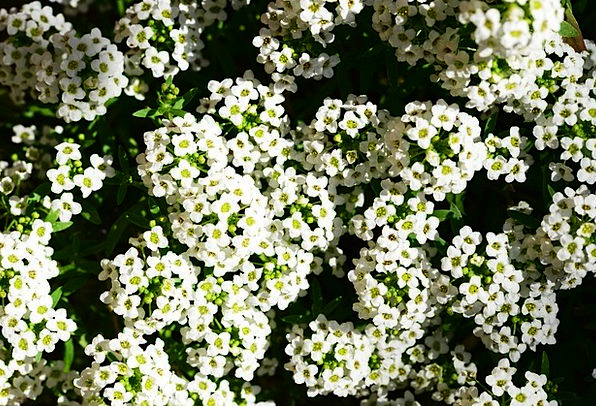 Little Dorrit Lobularia Maritima Alyssum Close-Up