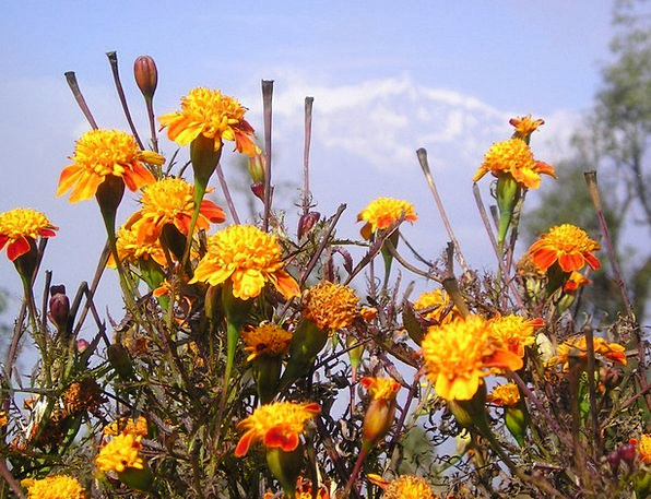 Nepal Plants Gel Cream Flowers Himalayas