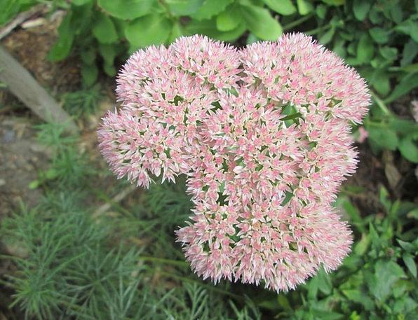 Sedum Plot Flower Floret Garden Pink Flushed