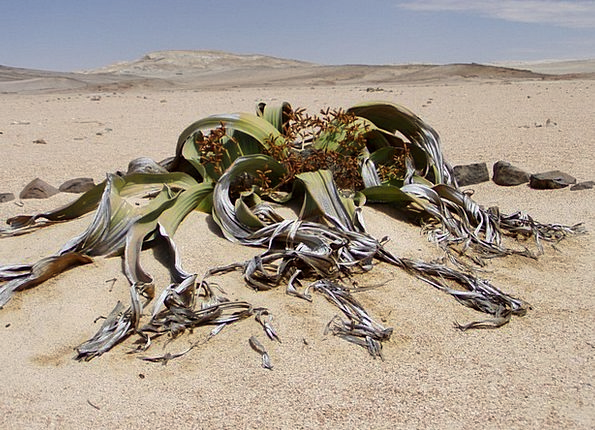 Welwitschia Mirabillis Landscapes Nature Fossil Re